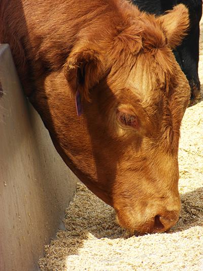 cattle-feeding-in-bunk